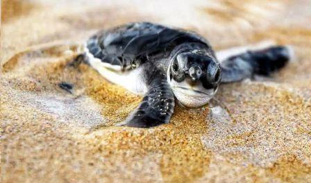 Velas Turtle Festival with Eco- Tour (2D/1N)